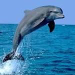 delfinul jucaus